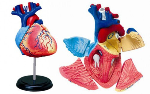 Aoshima 4D Vision Human Anatomy Model No.10 Heart Non-scale Kit