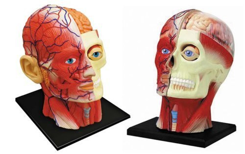 Aoshima 4D Vision Human Anatomy Model No.11 Head Non-scale Kit