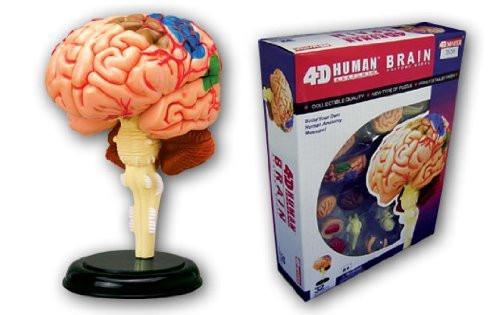 Aoshima 4D Vision Human Anatomy Model No.12 Brain Non-scale Kit