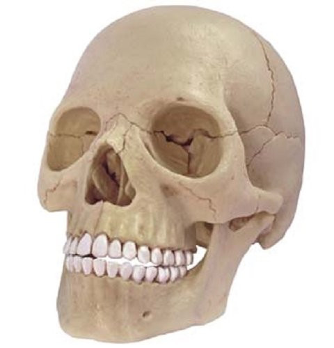 Aoshima 4D Vision Human Anatomy Model No.23 Head 1/2 Scale Kit