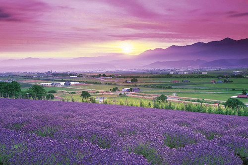 Epoch Jigsaw Puzzle 10-780 Japanese Landscape Lavender Field in Furano Hokkaido (1000 Pieces)