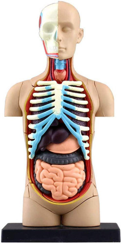 Aoshima 107119 4D Vision No.01 Torso Anatomical Model Non-scale Kit