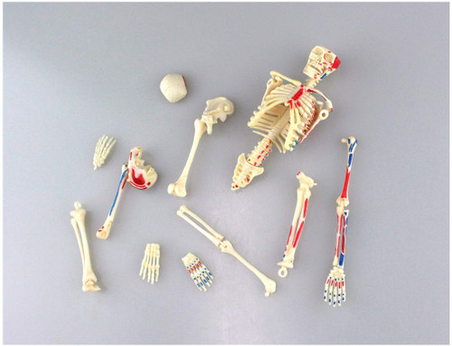 Aoshima 107119 4D Vision No.08 Whole Body Skeleton Model Non-scale Kit