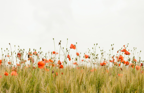 Poppy Field Poster.