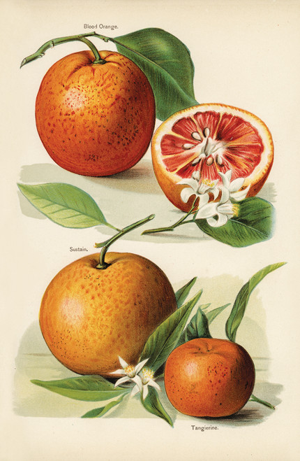 Illustration of citrus fruit, blood orange and tangerine.