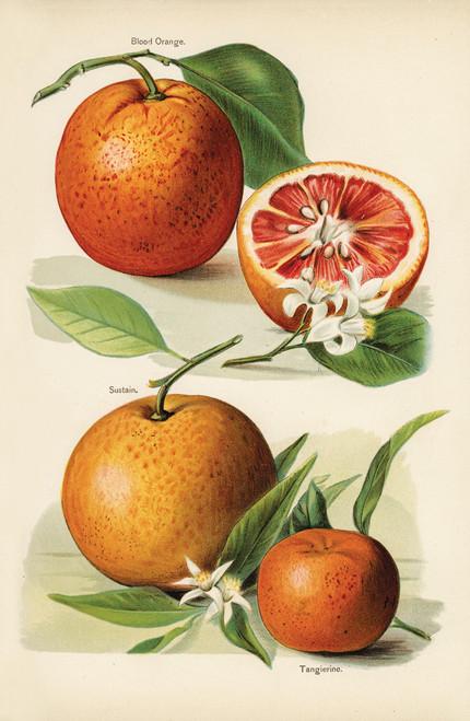 Illustration of citrus fruit, blood orange and tangerine.