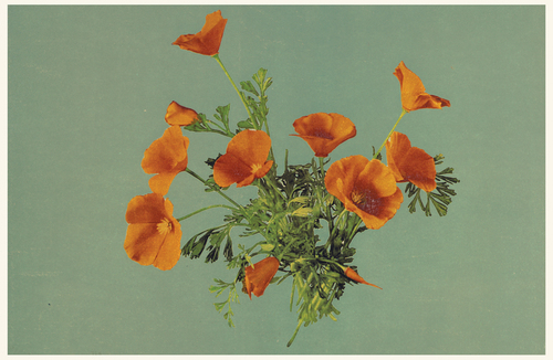 Vintage photograph of California poppies on blue background.