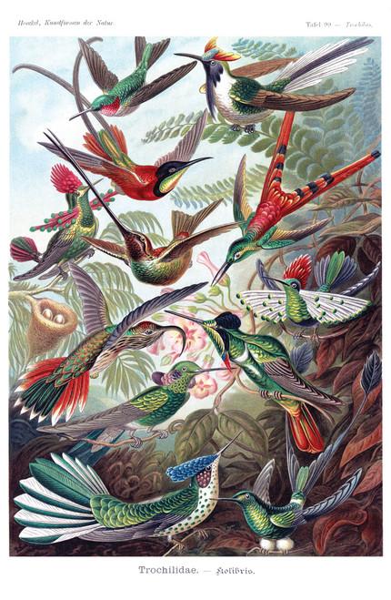 Hummingbirds by Ernst Haeckel, 1904.