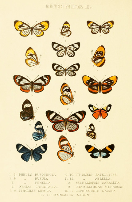 Vintage illustration of rare butterflies.