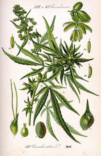 Vintage scientific illustration of a cannabis plant.