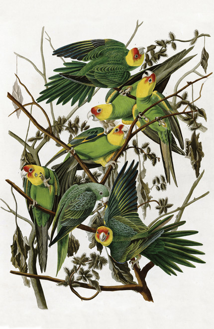 Audubon illustration of the Carolina Parakeet.