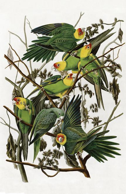 Audubon illustration of the Carolina Parakeet.