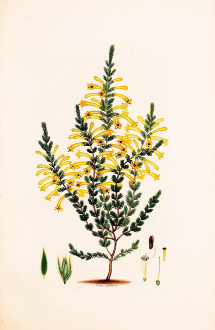 Yellow Heath illustration.
