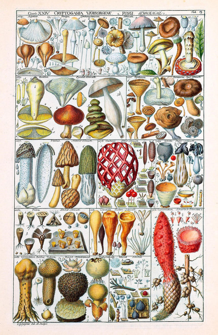 Vintage fungi illustration table.
