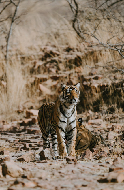 Photo of a bengal tiger.