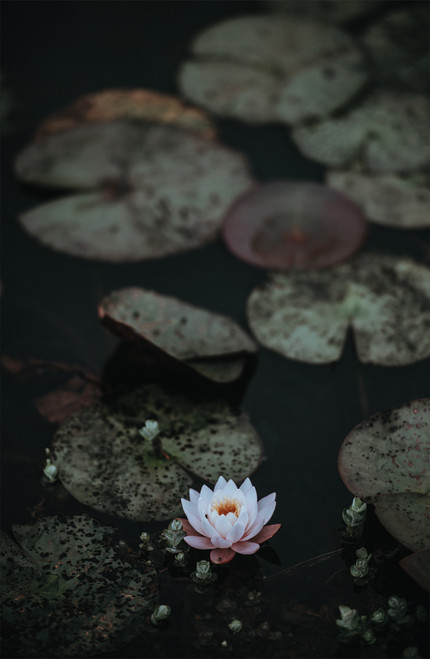 Photo of water lily.