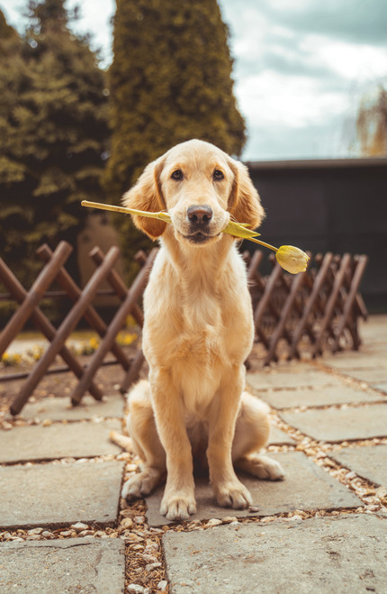 Golden Retriever holding a tulip.