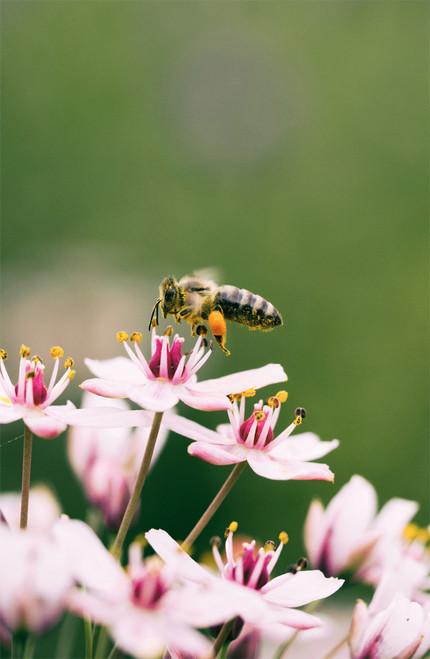 Honey bee resting on a flower.