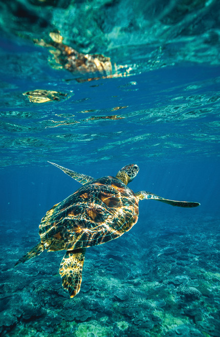 Photo of an underwater sea turtle.