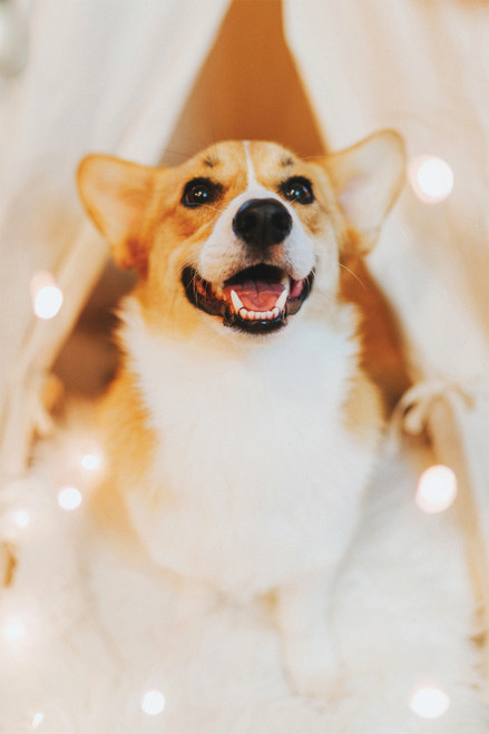 Cute smiling corgi with lights.