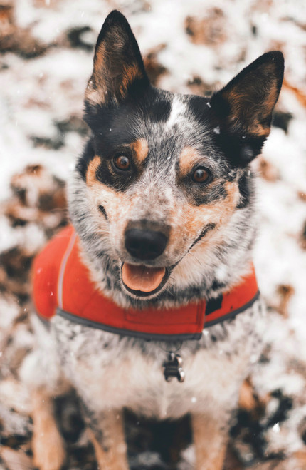 Australian cattle dog wearing a harness.