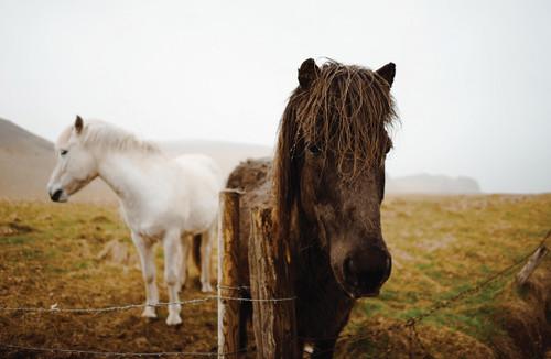 Icelandic horses in the mist.