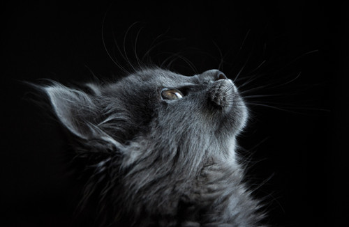Gray cat looking up on a black background.