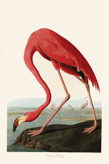 American Flamingo by Audubon.