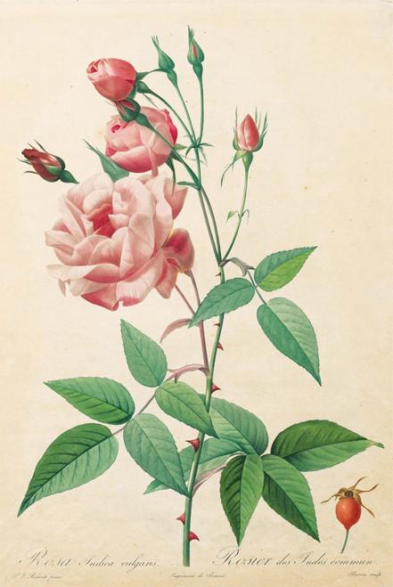 Rosa Gallica by Pierre-Joseph Redouté.