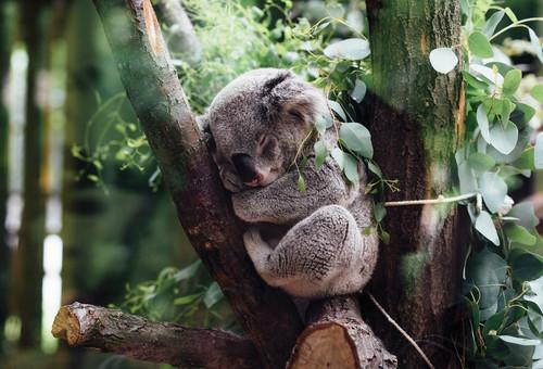Koala Postcard.