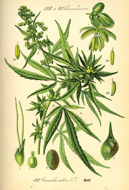 Cannabis Illustration Postcard