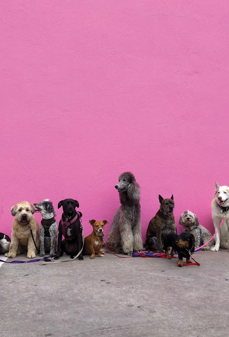 Dogs Pink Wall Postcard.