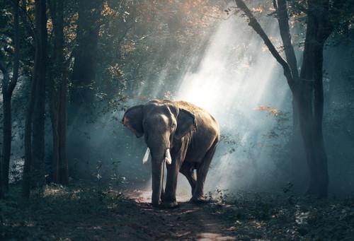 Elephant Sunray Postcard.