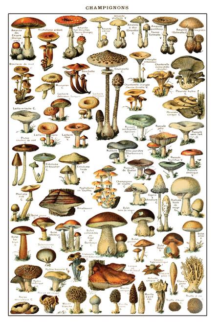Fungi Mushroom Chart Postcard.