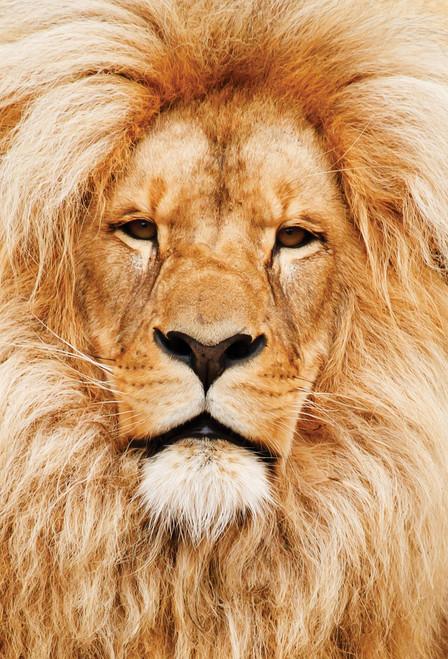 Lion Face Postcard.