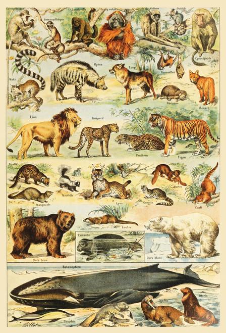 Wildlife Mammals Postcard.
