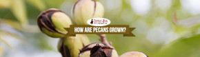 How Are Pecans Grown?