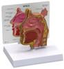 Sinus Anatomical Model