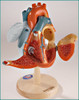 Heart of America Anatomical Model-Disassembled