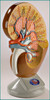 Kidney Deluxe Anatomical Model