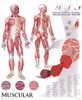 Large Muscular System Chart
