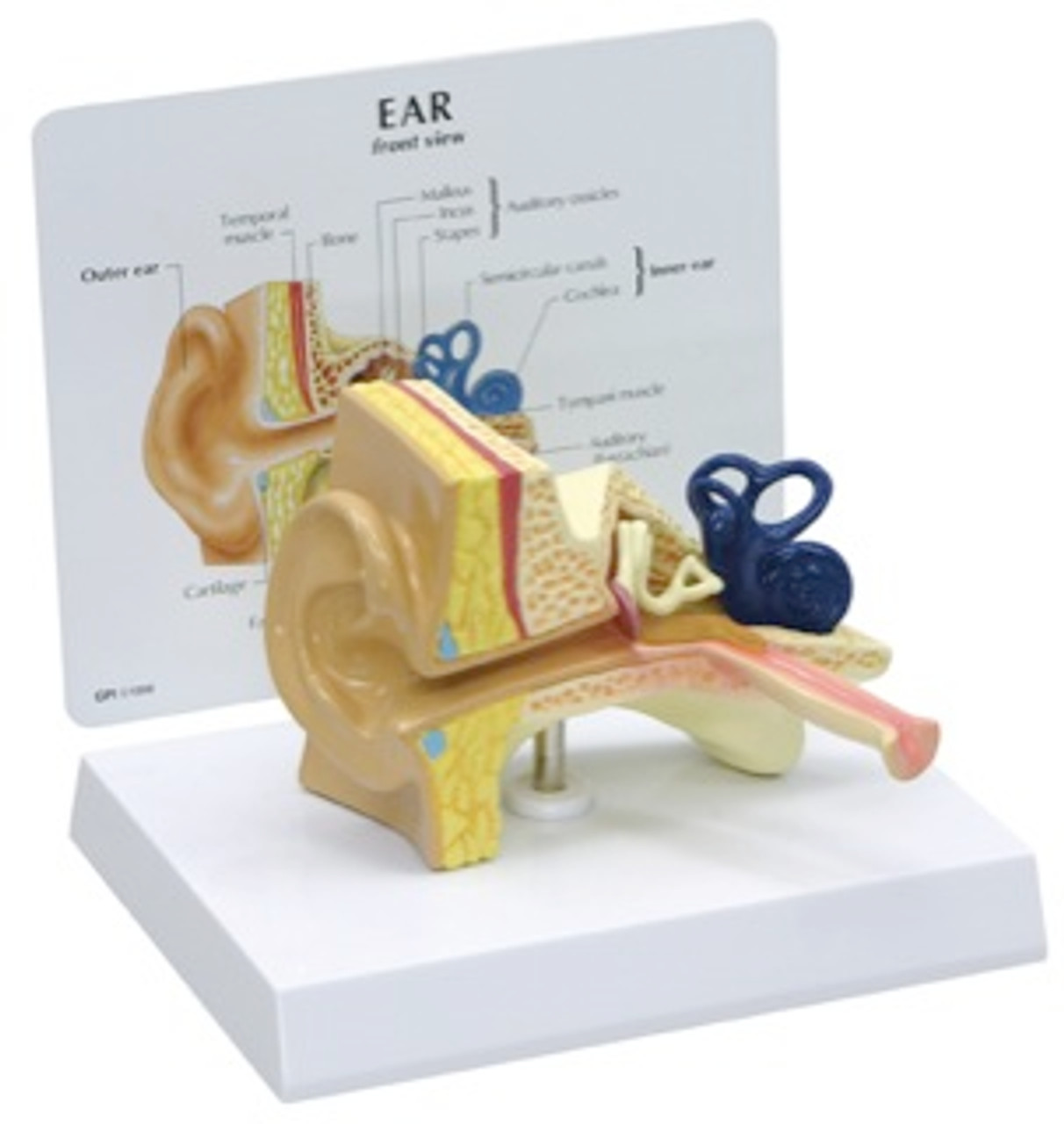 Ear Anatomical Model - Childs