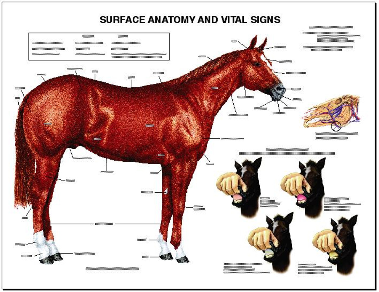 Equine Chart , Anatomy and Vital Signs