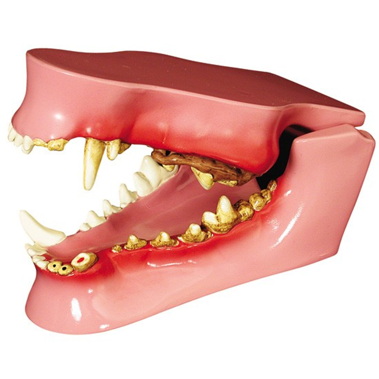Canine Jaw Model