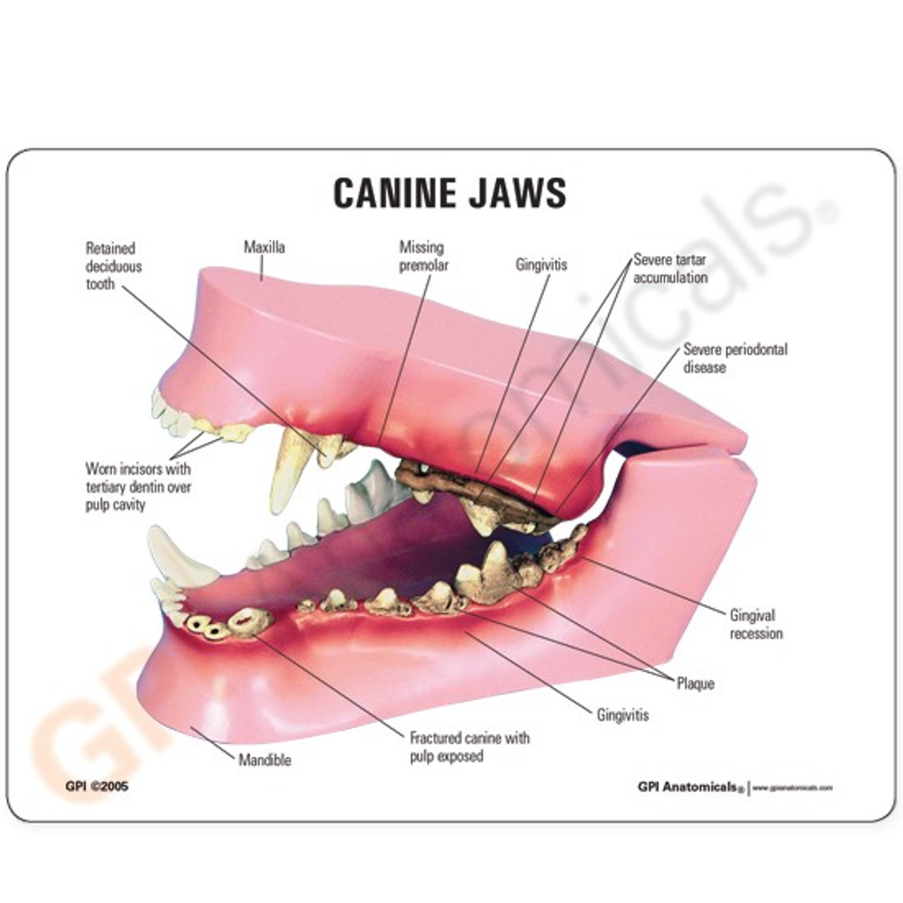 Canine Jaw Model Description Card