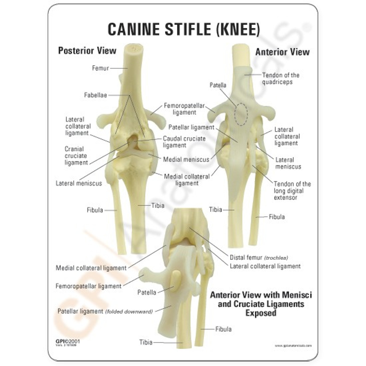 Canine Knee Model Description Card