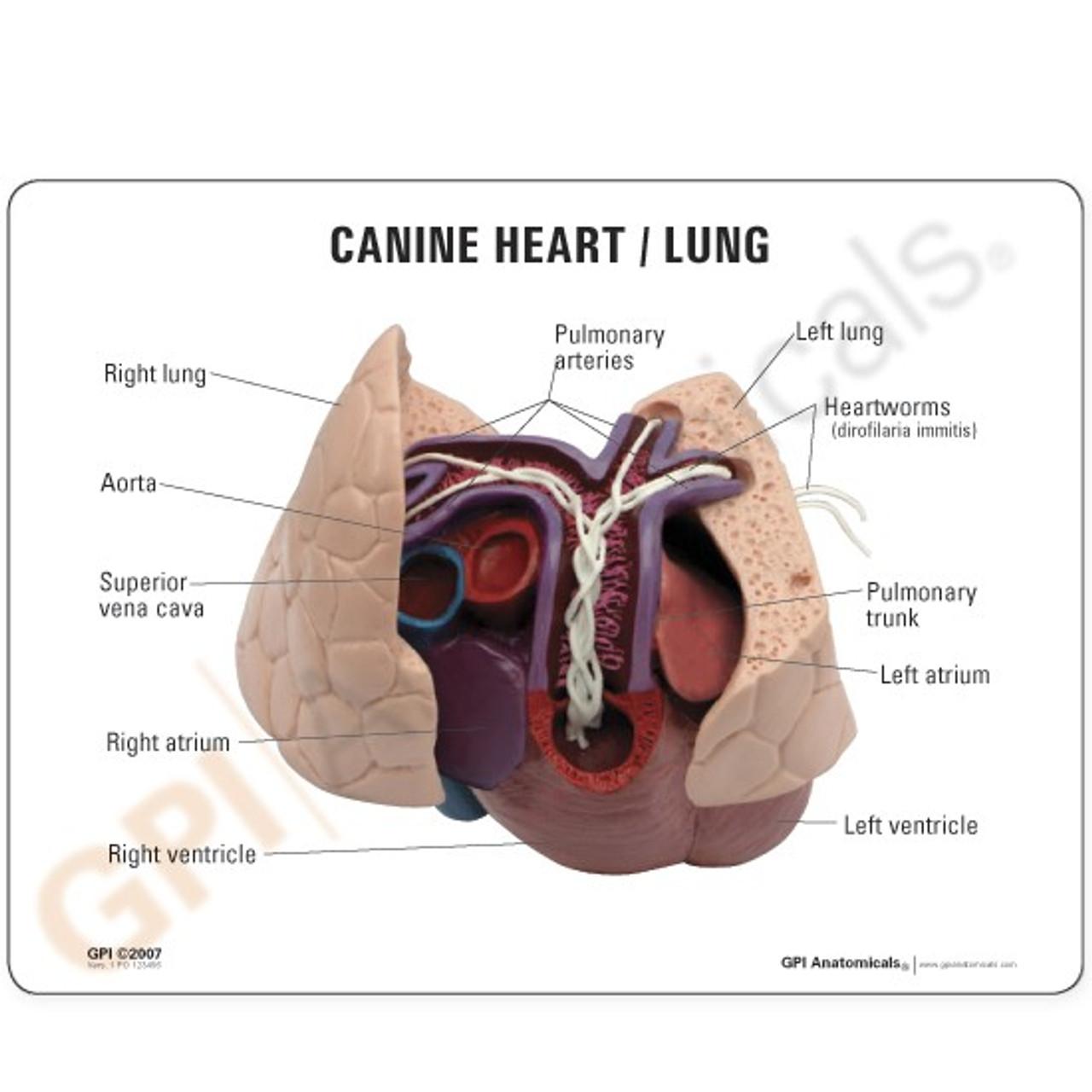 Canine Heart & Lung Heart Worm Model-Description Card