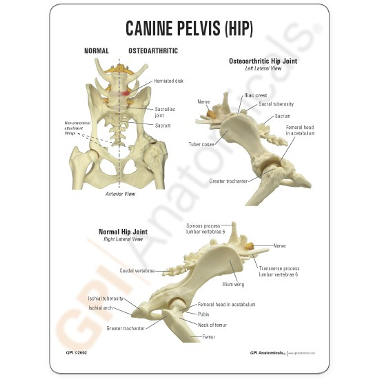 Canine Pelvis and Hip Model Description Card