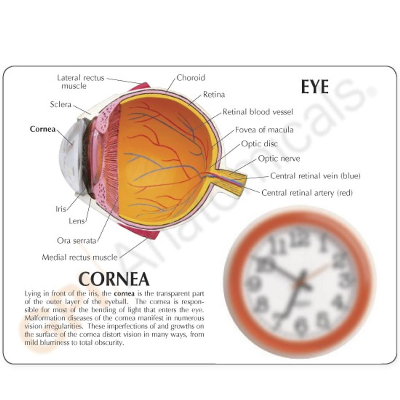 Cornea Eye Model Description Card