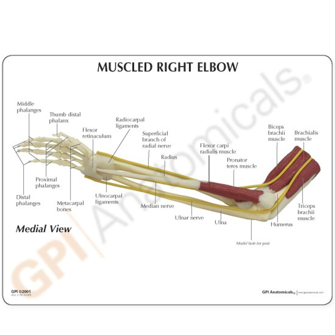 Elbow Anatomical Model Description Card
